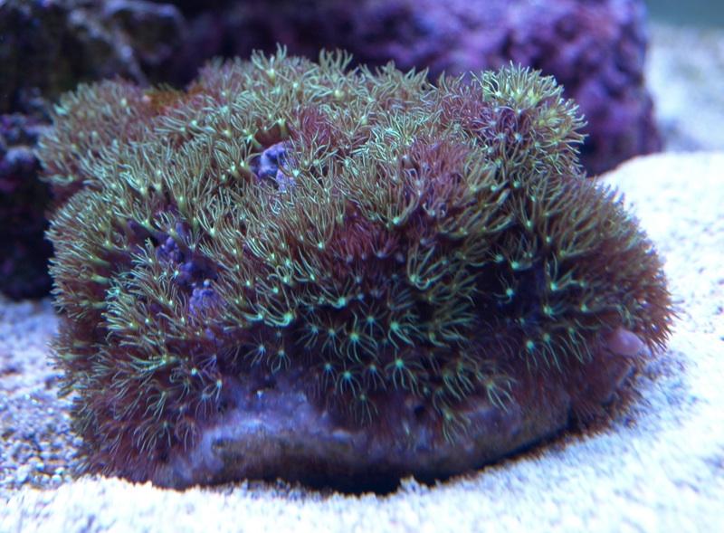 Super Green Star Polyp