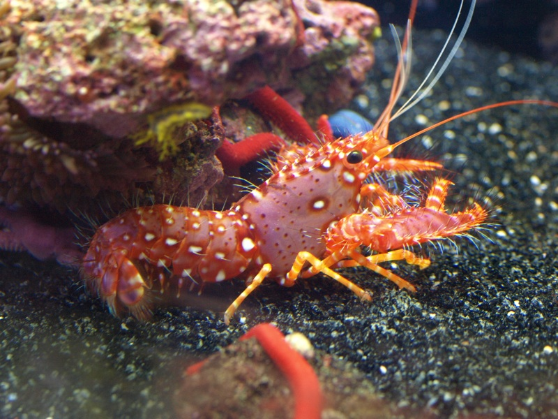 Red Spiny Lobster